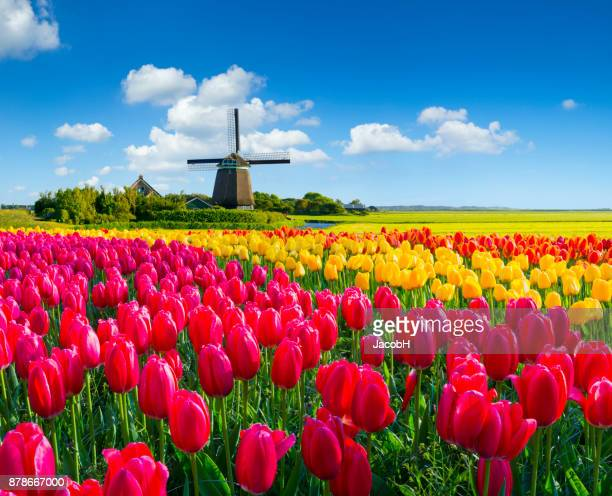 dutch spring scene - netherlands stock pictures, royalty-free photos & images