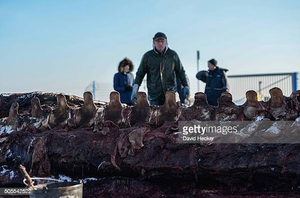 Dutch taxidermist Aart Walen walks next to the backbone of one of two dead sperm whales that recently appeared on the beach of Wangerooge Island on...