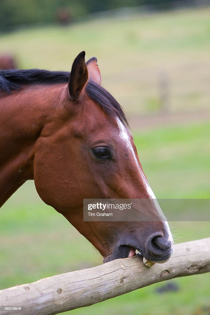Dutch Warmblood Horse, Great Britain : News Photo