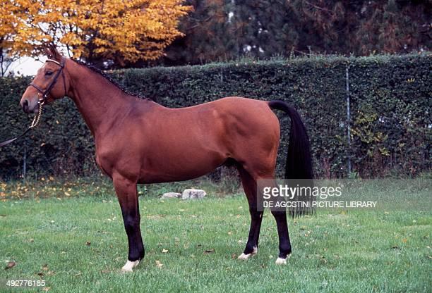 Dutch Warmblood horse Equidae
