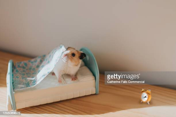 duvet day - lying in state stock pictures, royalty-free photos & images