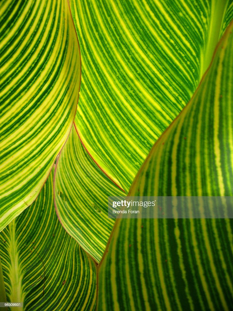 Dwarf canna lily : Stock Photo