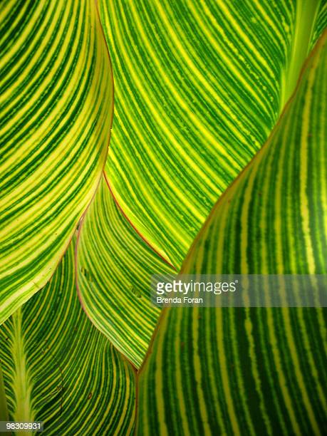 dwarf canna lily - canna lily stock pictures, royalty-free photos & images