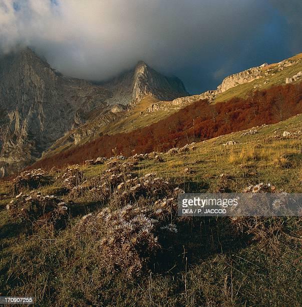 Dwarf carline thistle , with the Little Horn in the background, Gran Sasso, Gran Sasso and Monti della Laga National Park, Abruzzo, Italy.