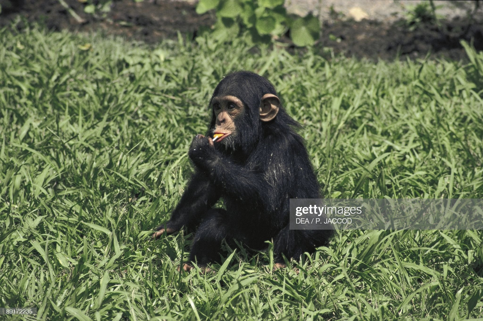 Dwarf chimpanzee (Pan paniscus) eating leaves : News Photo