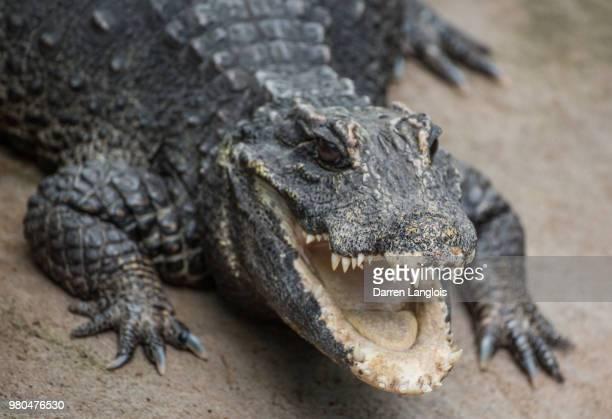 Dwarf crocodile (Osteolaemus tetraspis) in Calgary Zoo, Calgary, Alberta, Canada