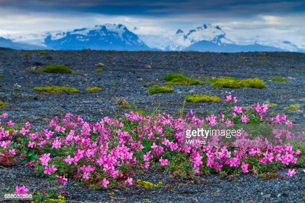 Dwarf Fireweed or River Beauty Willowherb in volcanic ground Iceland