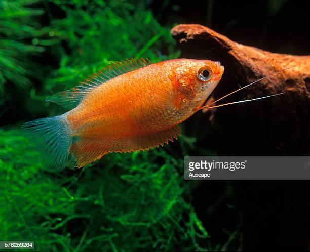 Dwarf gourami Trichogaster lalius freshwater aquarium fish that grows to 88 cm Originates from Pakistan India Bangladesh Native to the Indian...