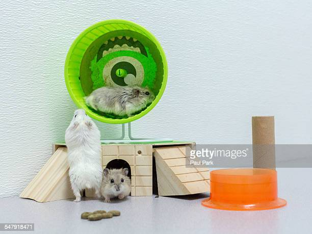 Dwarf hamster playing