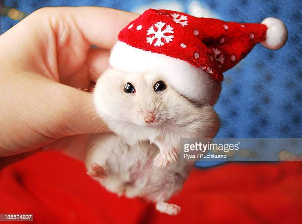 Dwarf hamster with Santa Claus hat