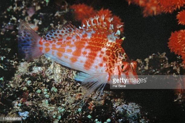 dwarf hawkfish - hawkfish stock pictures, royalty-free photos & images