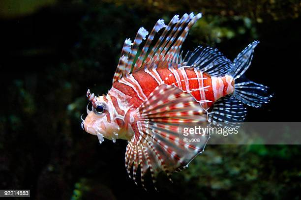 Dwarf lionfish 3