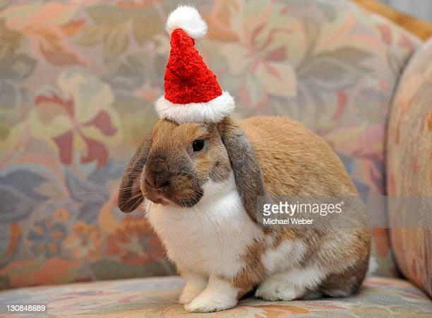 Dwarf lop bunny or rabbit (Oryctolagus cuniculus), wearing a Santa hat