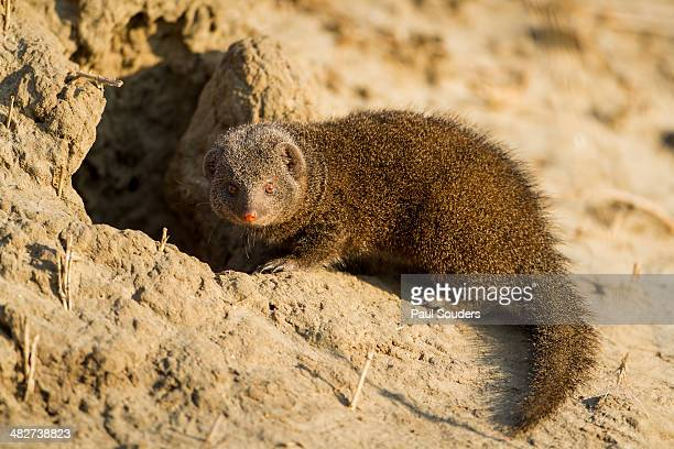 Dwarf Mongoose. Chobe National Park, Botswana