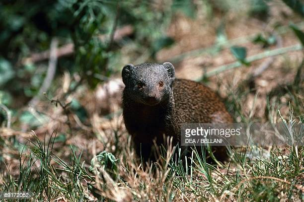 Dwarf mongoose in the forest