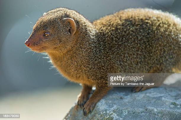 Dwarf mongoose on the rock
