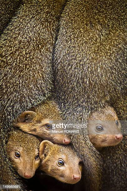 dwarf mongoose - mongoose stock photos and pictures
