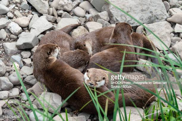 dwarf otter - ostrava stock pictures, royalty-free photos & images