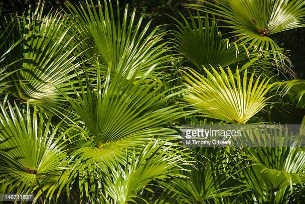 dwarf palmetto (sabal minor) forest. - palmetto florida stock pictures, royalty-free photos & images