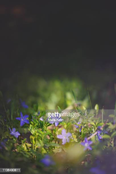 dwarf periwinkle (vinca minor) - forest floor stock photos and pictures
