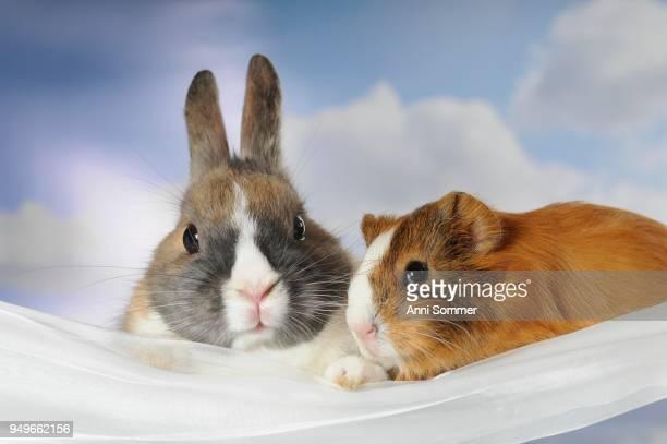 Dwarf rabbit and guinea pig