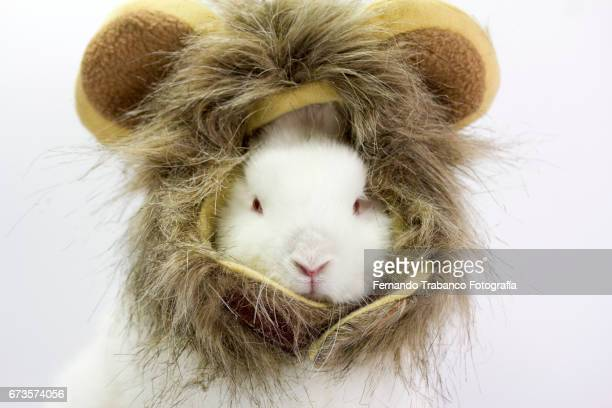dwarf rabbit disguised as wild and ferocious lion, Oryctolagus cuniculus domesticus