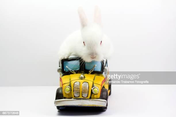 Dwarf rabbit drives a school bus