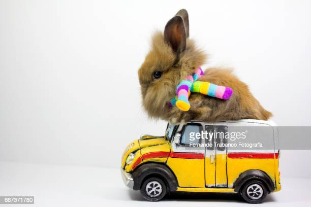 Dwarf rabbit drives with scarf and rainbow colors on a windy day and at high speed