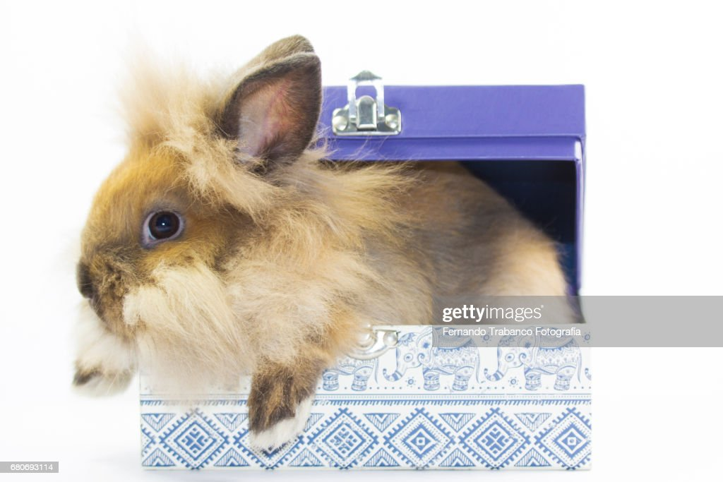 Dwarf Rabbit Inside A Gift Box Or Suitcase To Travel With Your Pet