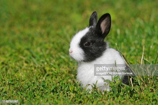 dwarf rabbit, short-haired, black and white, 5 weeks, sitting in meadow, austria - black dwarf stock pictures, royalty-free photos & images