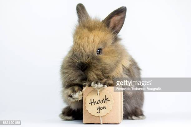 Dwarf rabbit with gift box and the word thank you  (Oryctolagus cuniculus domesticus)