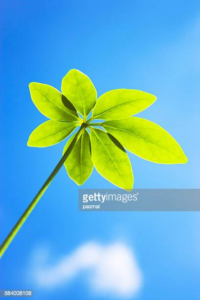 dwarf umbrella tree leaves under a blue sky - queensland umbrella tree stock pictures, royalty-free photos & images