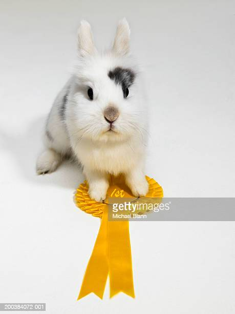 dwarf-eared rabbit with paws on rosette, close-up - black dwarf stock pictures, royalty-free photos & images