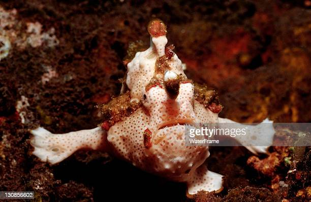 Dwarty Frogfish (Antennarius maculatus), Waktobi, Celebes Sea, Sulawesi, Indonesia