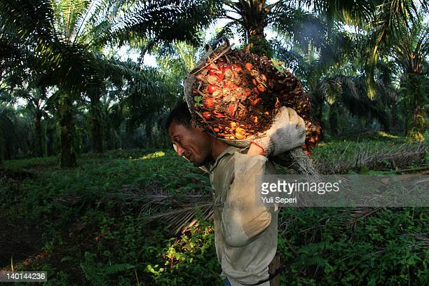 Dwi Farmer carries berries on the oil palm plantations on February 28, 2012 in Bintan Island, Indonesia. Indonesian palm oil producers have been hit...