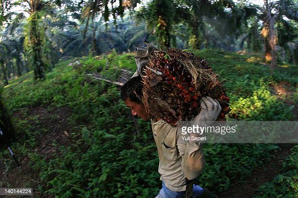 Dwi Farmer carries fruit on the oil palm plantations on February 28, 2012 in Bintan Island, Indonesia. Indonesian palm oil producers have been hit by...
