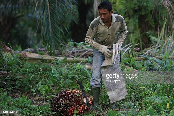 Dwi Farmer prepares to wrap up fruit on the oil palm plantations on February 28, 2012 in Bintan Island, Indonesia. Indonesian palm oil producers have...