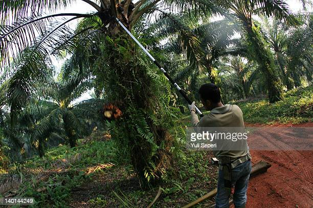 "Dwi Farmer was cutting the fruit of oil palm by using a knife, locally called an ""Ancak"" on the oil palm plantations on February 28, 2012 in Bintan..."