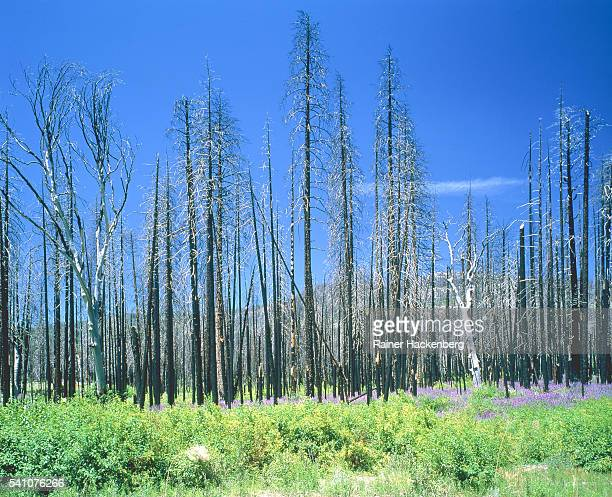 dying forest in the yosemite national park, california, usa - acid rain stock pictures, royalty-free photos & images