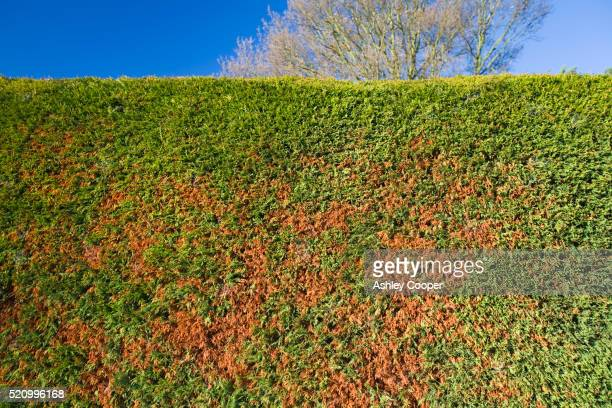 Dying garden hedge