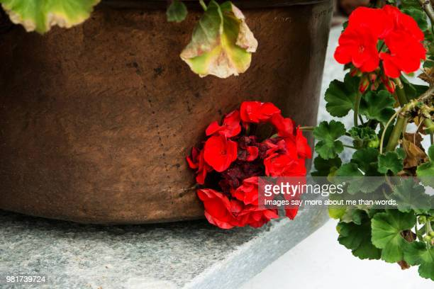 a dying geranium with some new buds. still life. - fading stock pictures, royalty-free photos & images