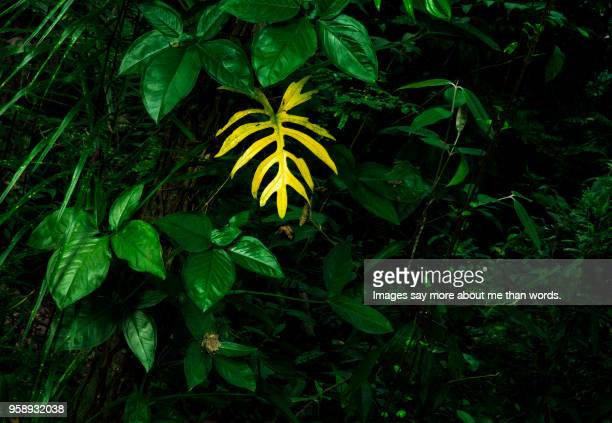 Dying leaf in the middle of the lush foliage of the Rain Forest.