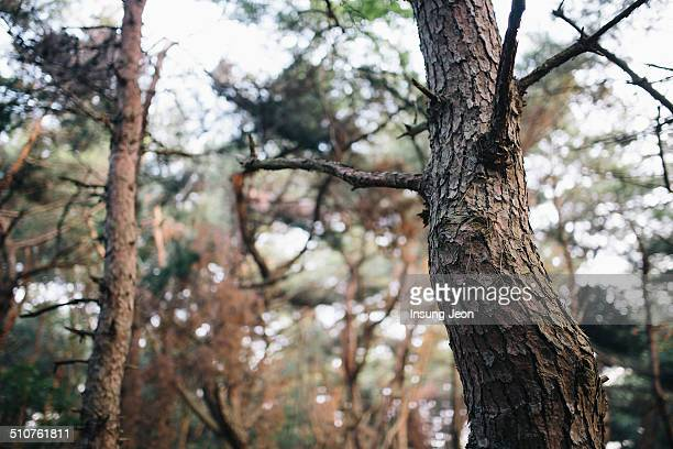 Dying pine forest