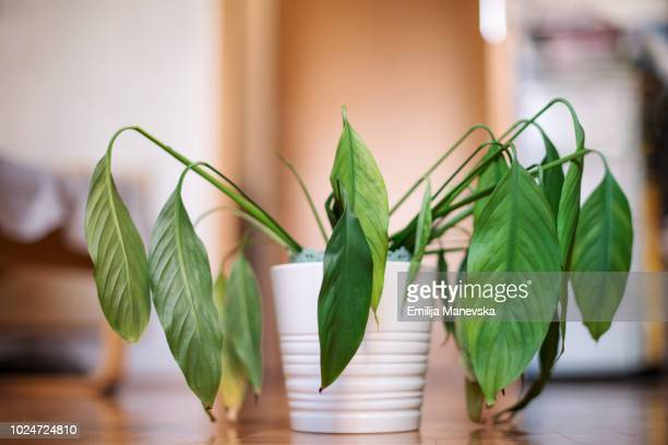 dying plant - wilted plant stock pictures, royalty-free photos & images