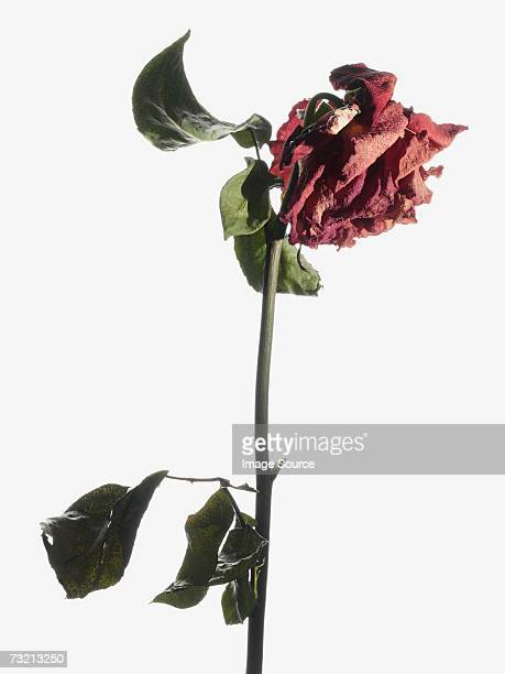 dying rose - death stock pictures, royalty-free photos & images