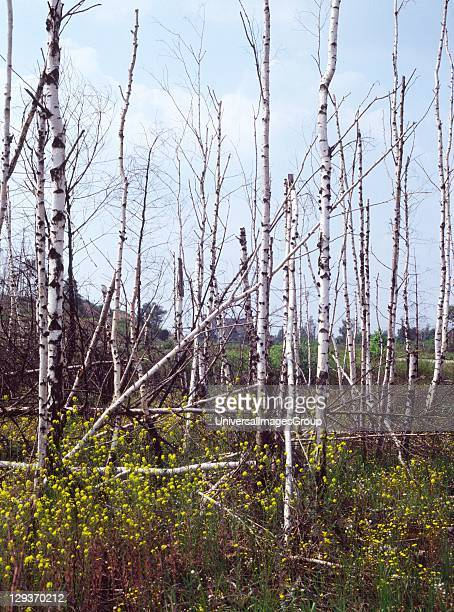 Dying silver birch trees in Germany