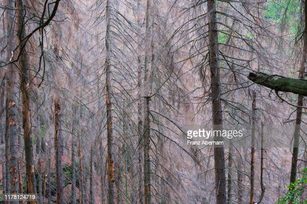 dying spruce tree in forest - acid rain stock pictures, royalty-free photos & images