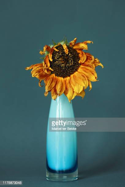 dying sunflower in a vase - dead stock pictures, royalty-free photos & images