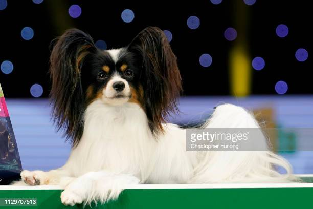 Dylan a Papillon from Belgium poses after winning Best in Show on the last day of Crufts Dog Show at the National Exhibition Centre on March 10 2019...