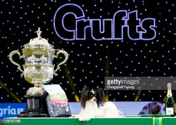 Dylan a Papillon from Belgium poses next to the trophy after winning Best in Show on the last day of Crufts Dog Show at the National Exhibition...